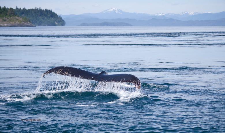 Going down - deze humpback whale / bultrug walvis zoekt naar voedsel (krill) in de wateren tussen Vancouver Island en het vaste land, de Inside Passag