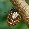 tropische vlinders - 136 soorten