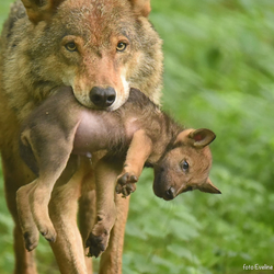 Wolf met welp