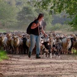 Herder met schaapskudde.