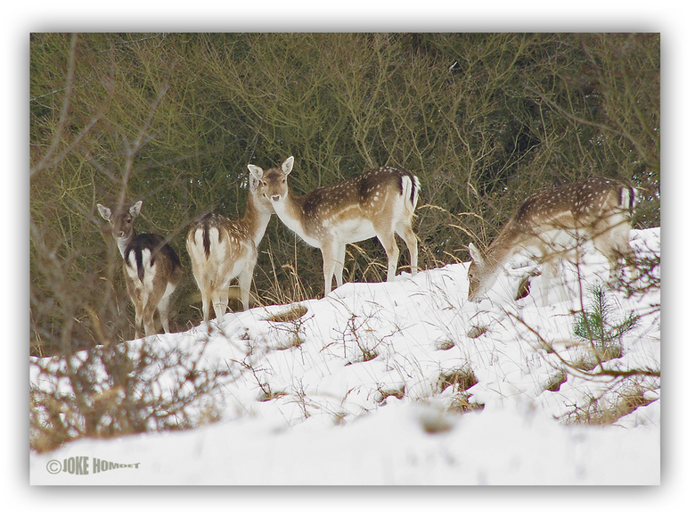 Herten in de sneeuw - Ondanks de sneeuw wisten deze herten toch nog iets eetbaars te vinden.