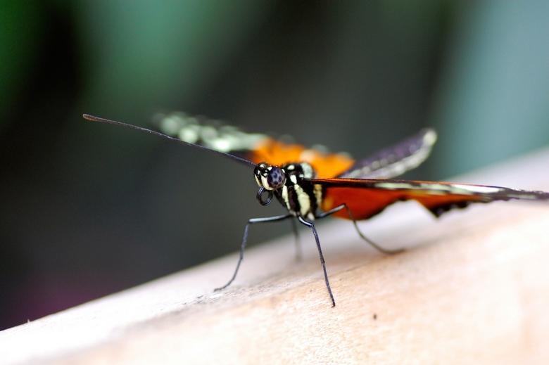Vlinder - Vlinder gefotografeerd bij Eureka, de vlindertuin op Texel.