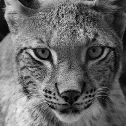Lynx Z/W - Anholter Schweiz