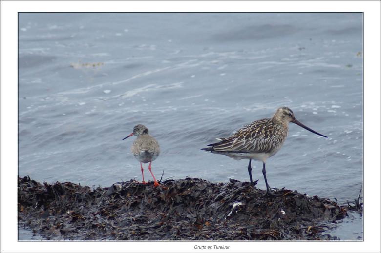 Grutto-Tureluur - Naast de enorme aantallen drieteenmeeuwen komen ook veel andere soorten vogels voor op Ekkerøy.<br /> Zo ook de Grutto en de Turelu