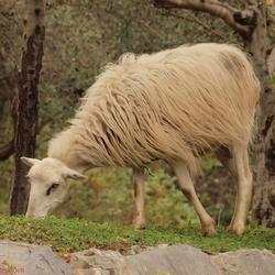 Grazend schaap op kreta