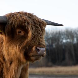 Schotse Hooglander in Lentevreugd