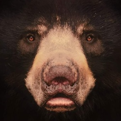 Close up: Bear