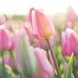 Tulpenseizoen is aangebroken