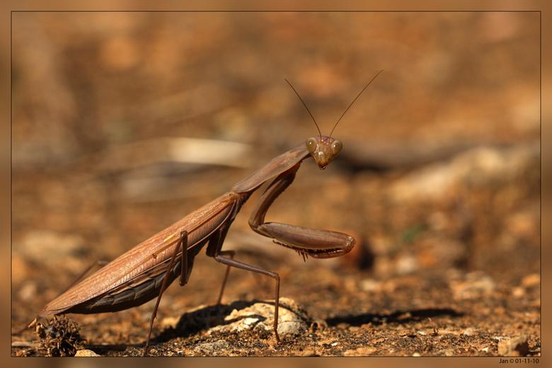 Bidsprinkhaan - Algarve 01-11-10<br /> De gewone bidsprinkhaan leeft in het gras en andere lage vegetatie waartussen hij goed gecamoufleerd is en nie