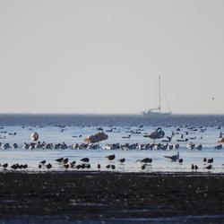 Flamingo's op het wad