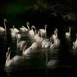zwemmende flamingo's............
