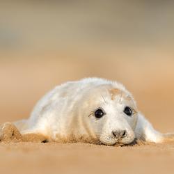 Zeehonden pup
