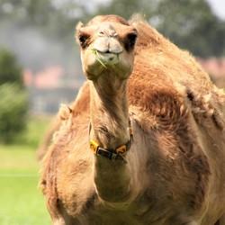kameel.