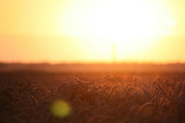 Tarwe - Tarweveld tijdens zonsondergang