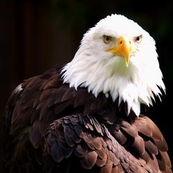 Amerikaanse adelaar 2
