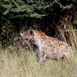 hyena -1-
