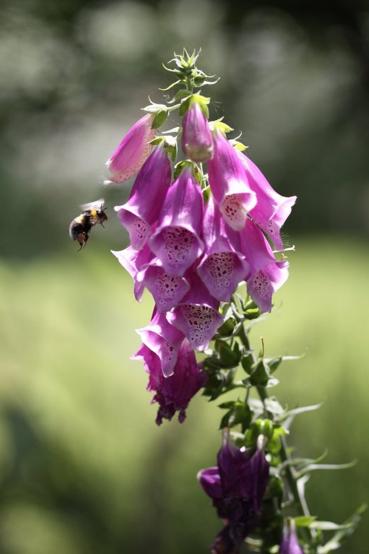 Bee Approaching -