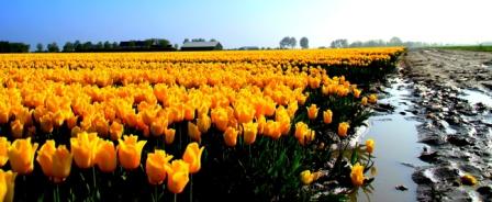 Tulpen met natte voeten - Deze foto is gemaakt in de tulpenvelden op Goeree Overflakkee en laat het contrast zien tussen een zonnig, maar tevens nat v