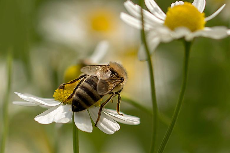 Even snoepen!  - Ondanks de wind vliegen ze op en af, lekker bezig om voedsel te verzamelen maar het valt inderdaad op dat er elk jaar er minder zijn