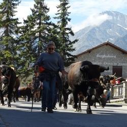 Koeien op stal in Grachen