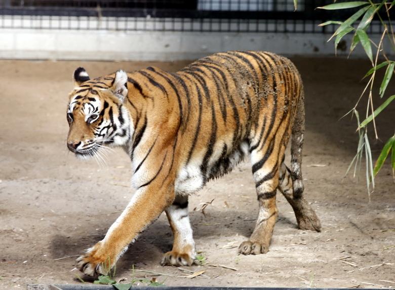 Tijger - Deze foto is gemaakt in Hoenderdaal<br /> opvangcentrum voor tijgers en leeuwen