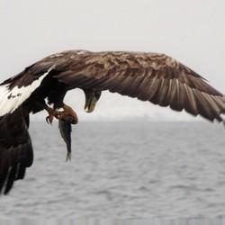 visssende zeearend