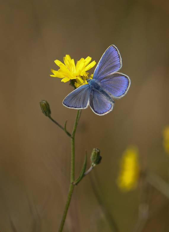Icarusblauwtje - Het was vandaag echt genieten om door de natuur te struinen met dit mooie weer.<br /> Er waren volop vlinders te bespeuren.<br />
