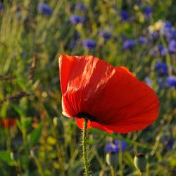 klaproos tussen zomerbloemen