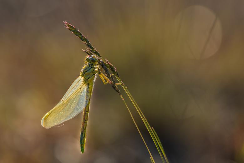 Plasrombout - Wanneer je in een minder waterrijk gebied woont moet je iets langere afstanden afleggen om libellen en juffers te spotten. Diversiteit e