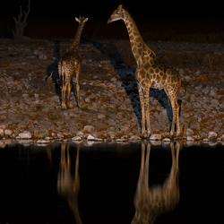 Moonlight Giraffes