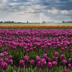 Tulpen en molens