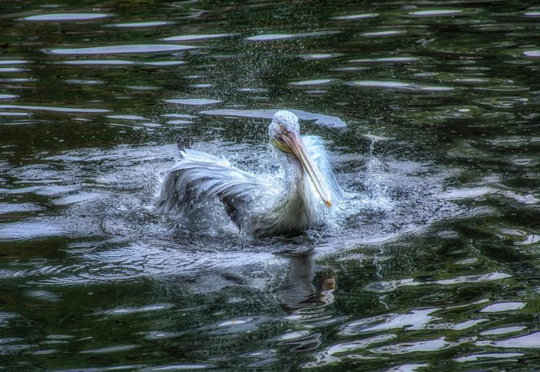 spetterende vogel - deze spetterende vogel trof ik vorig jaar , hij ging zo in zijn bad op dat hij mij niet eens opmerkte.leuk me leuk om op te sturen