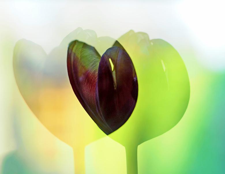 Tulp - Deze foto heb ik voor eerst met belichting F2 gedaan twee foto bij elkaar .<br /> Ik vond  zo goed gelukt was wat vinden jullie er van ?<br />