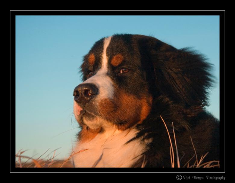 Lekker in de avondzon - Bij deze foto liet ik mijn hond boven op een heuveltje liggen.<br /> Zelf stond ik een truk lager om de hond van een lager st
