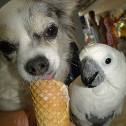 Chihuahua Lisa smult van ijs.Witkuifkaketoe Maxi kijkt toe.