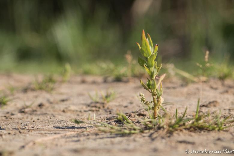 Plantje - Dit plantje stond van de zomer op het strandje langs de Regge.