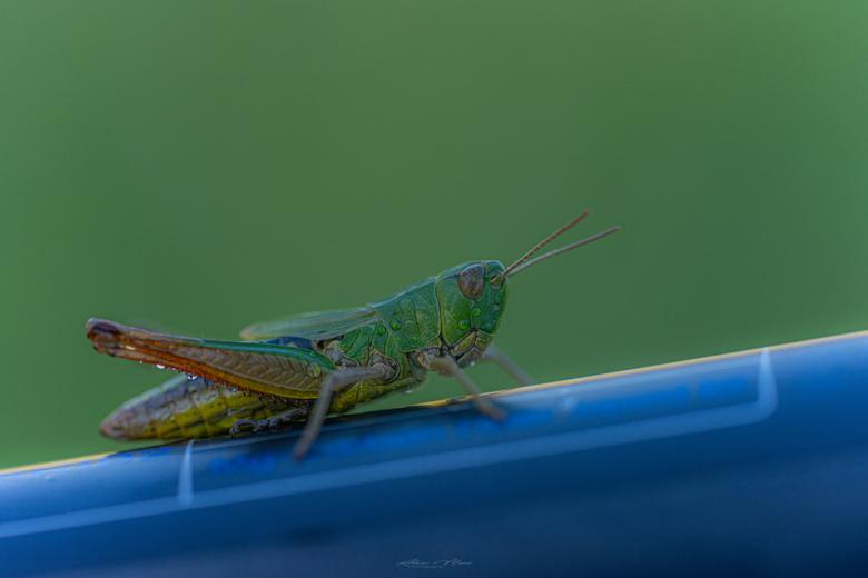 """Grasshopper - Bijzonder dat deze kleine sprinkhaan op m&#039;n statief ging zitten; kon het niet laten om er een foto van te maken haha <img  src=""""/im"""