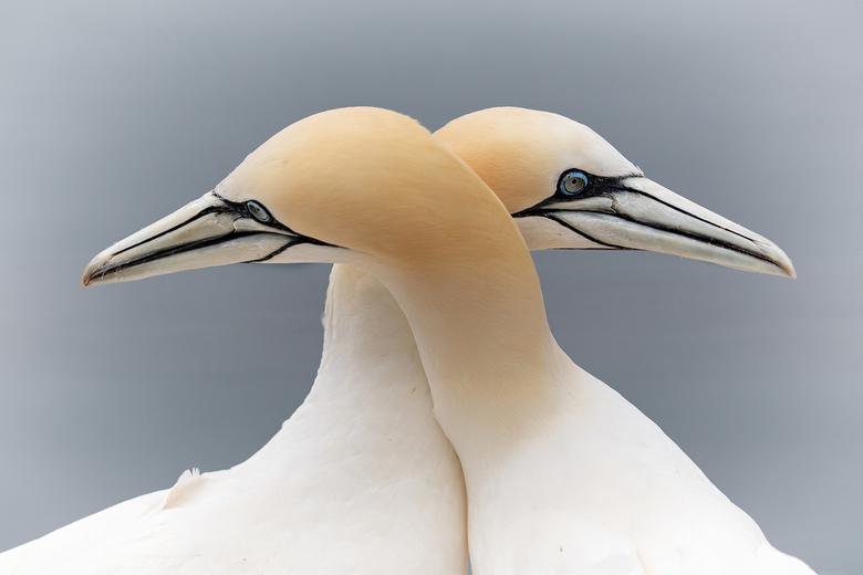 Gannet - Een mooie ervaring op Helgoland ,prachtig hoe deze dieren met elkaar omgaan ,een mens zou hier iets kunnen bijleren !