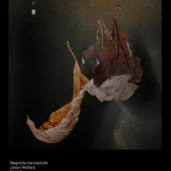 Magnolia macrophylla_DSC0643