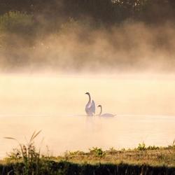 Zwanen in ochtend mist