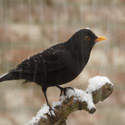 Merel / sneeuw