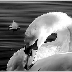 ZWAAN in zwart wit