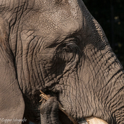 Dagdromende olifant