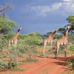 Giraffes in the garden