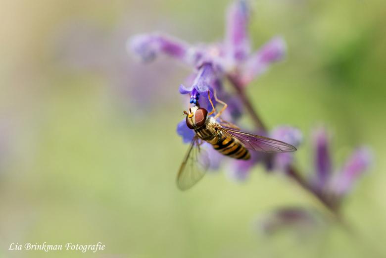 Zweefvlieg - Dit zweefvliegje was druk met het bezoeken van de bloemen en vond het helemaal niet erg dat ik een paar foto's van hem maakte.