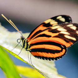 Tiger Longwing vlinder