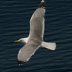 Gull @ Thassos