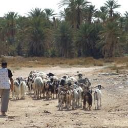 Jonge geitenhoeder in Zuid-Tunesië