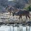 Namibië - Kudu's