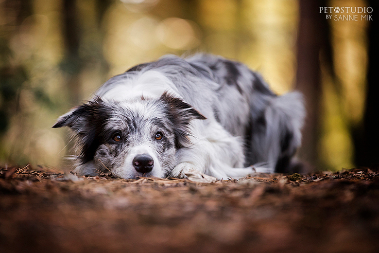 Border Collie Fiep -